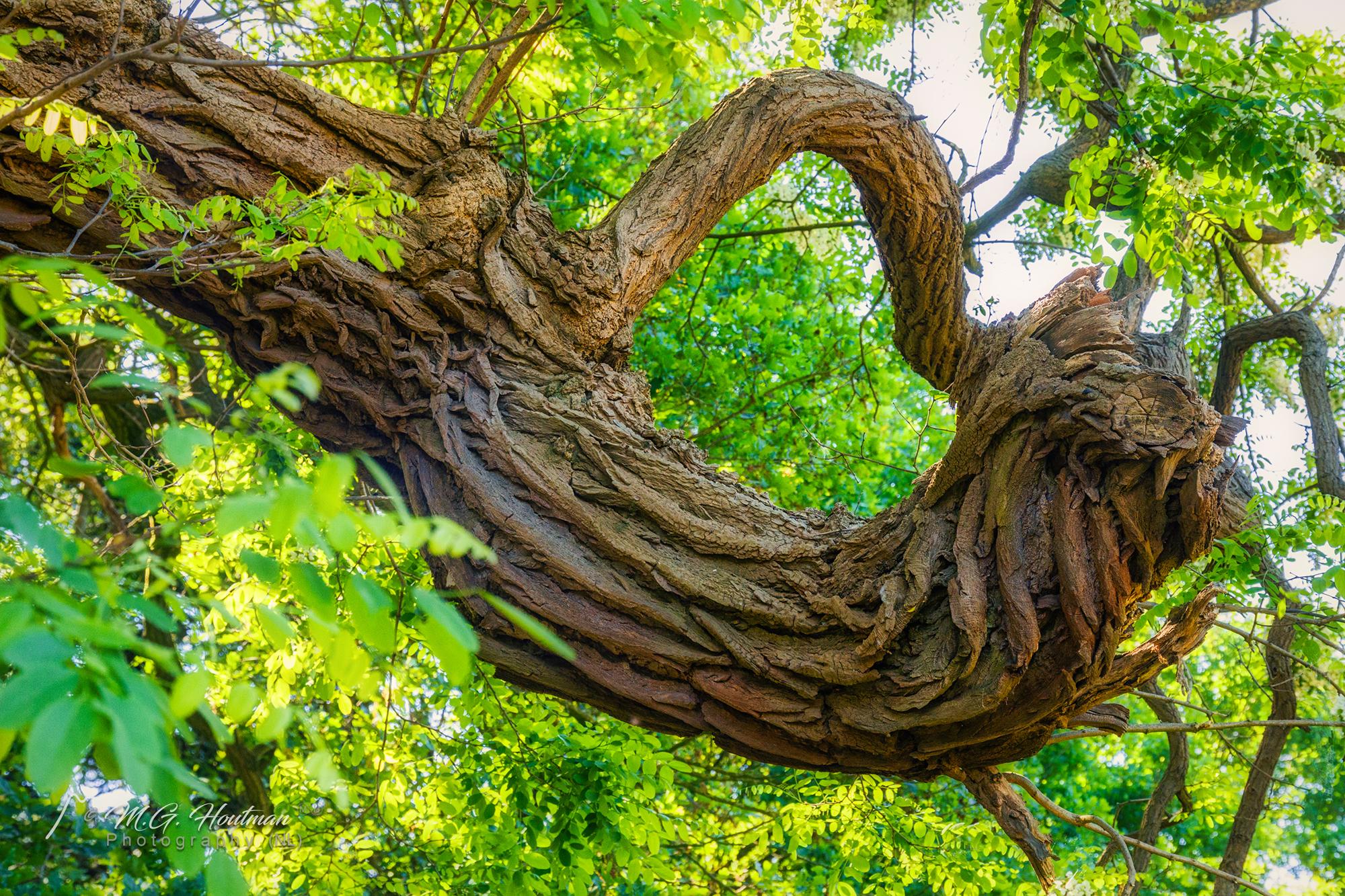 The old sunny tree