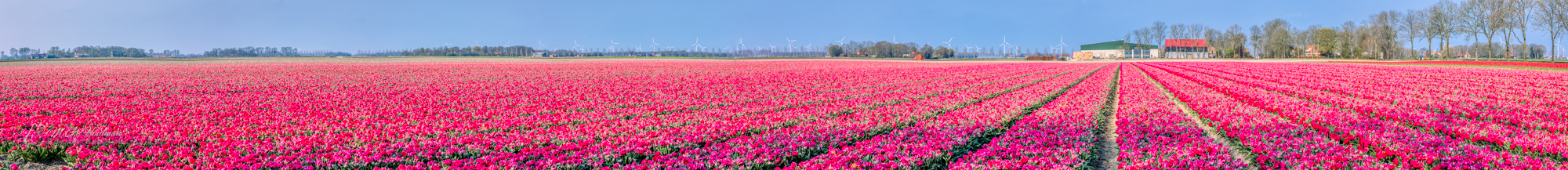 At a Dutch field of red tulips
