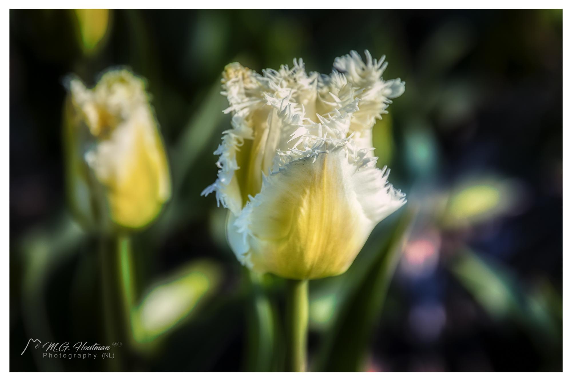 Dutch Yellow and white Tulip