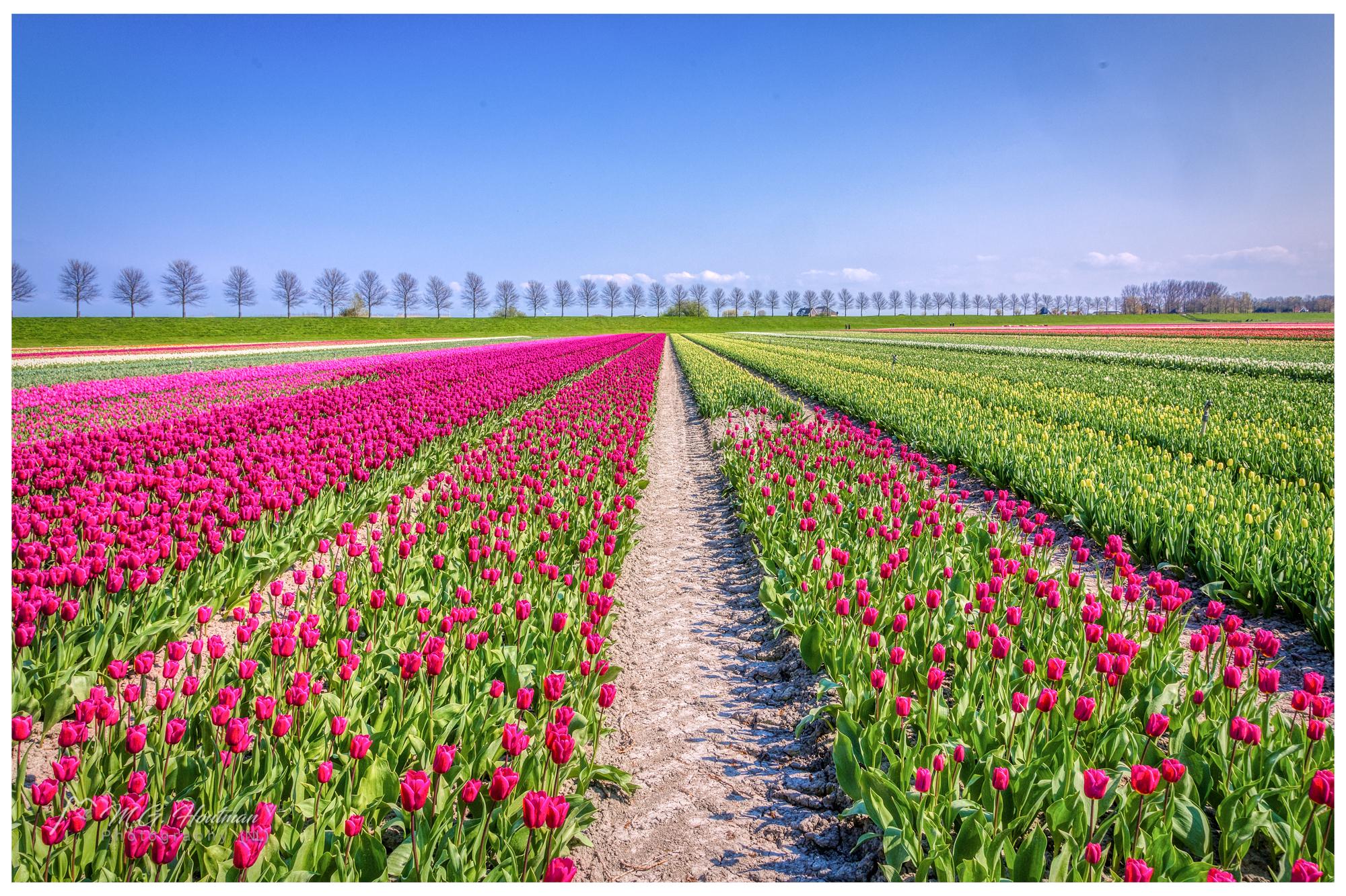 Fields of Dutch Tulips