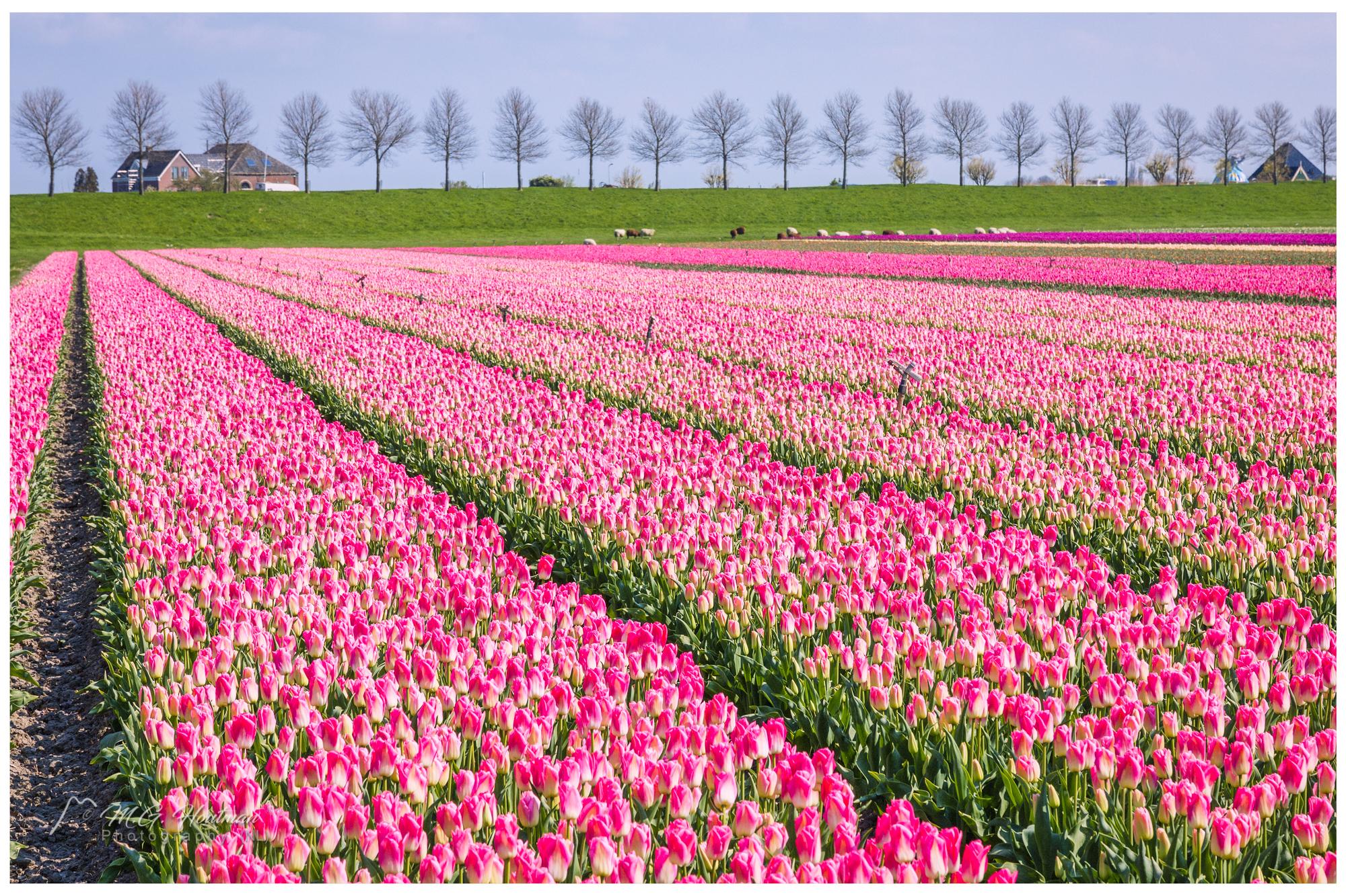 Dutch flower field (NL)
