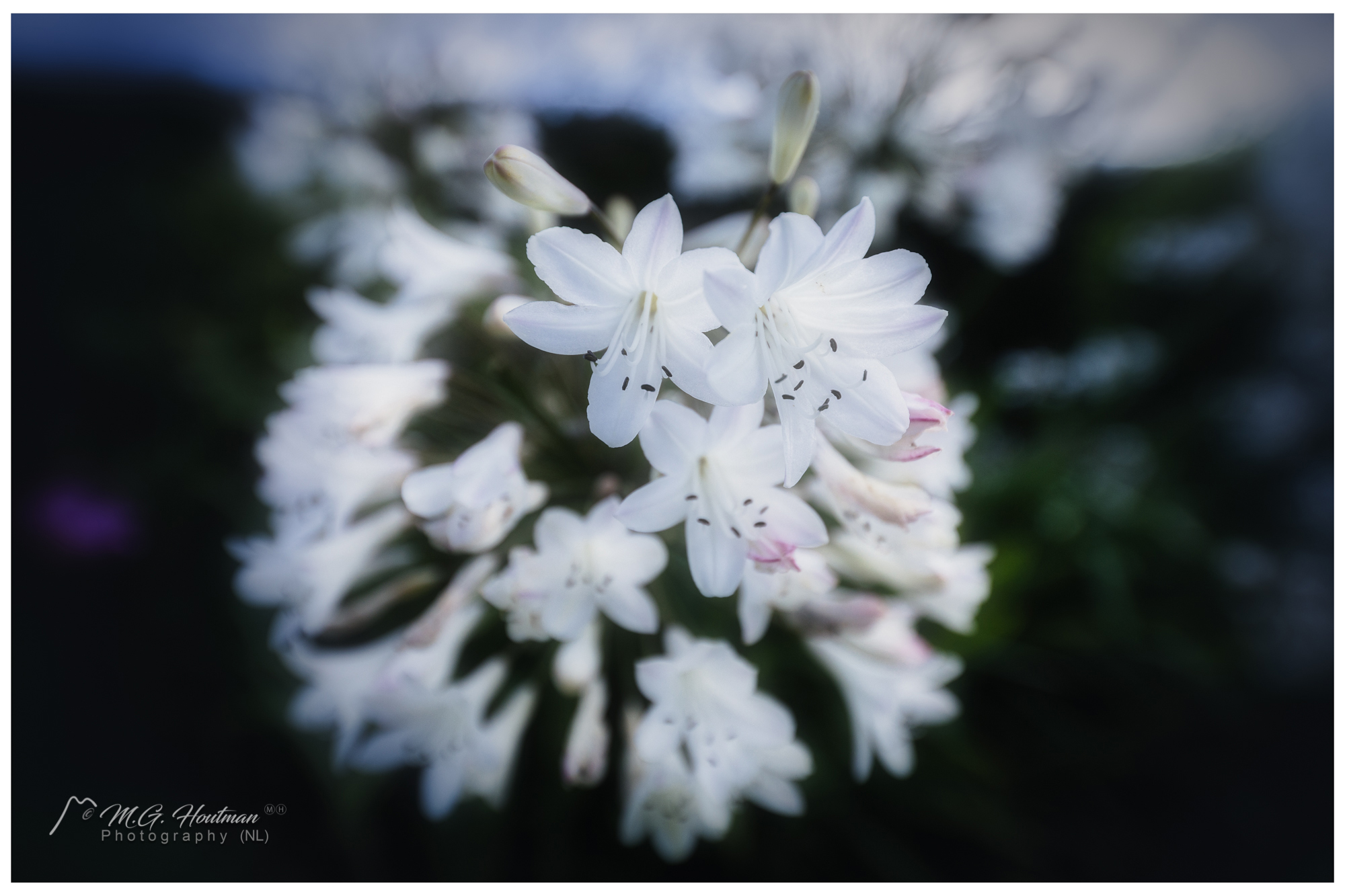 Rhododendron - Ericaceae