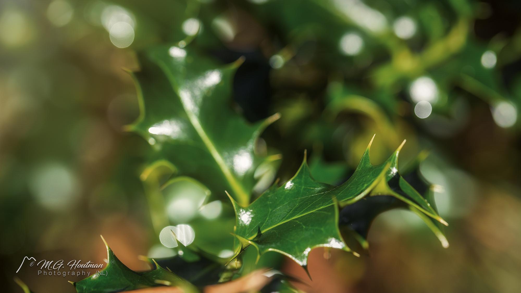 hulst - Ilex aquifolium