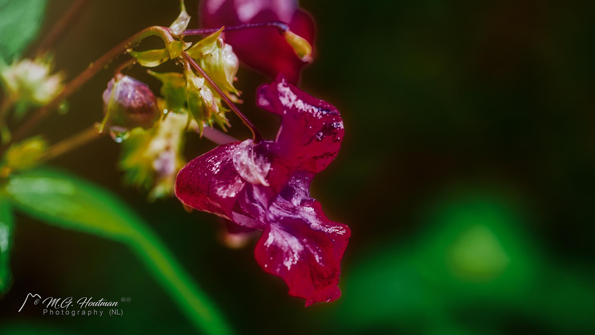 Bosorchidee