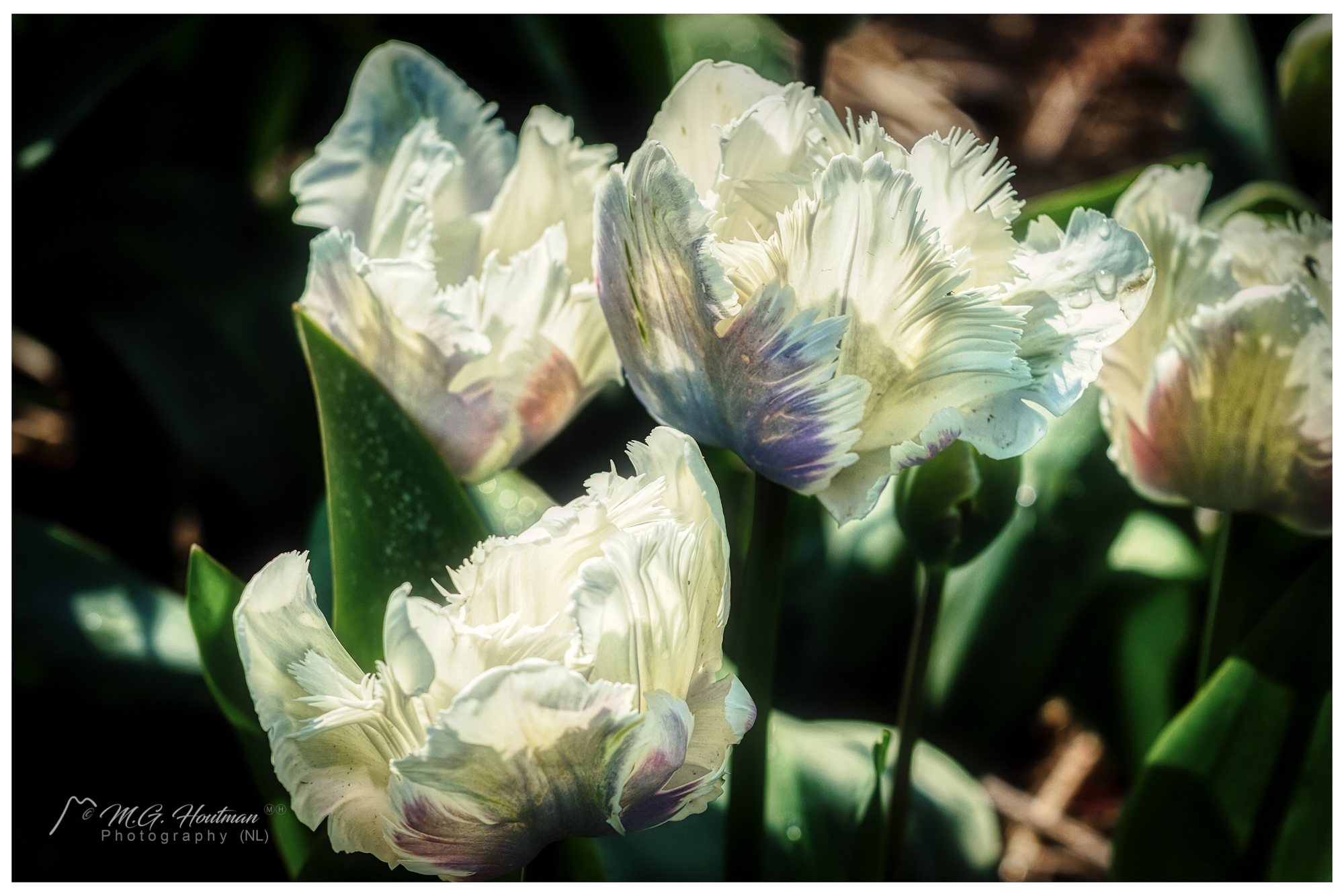 Kind of white tulips