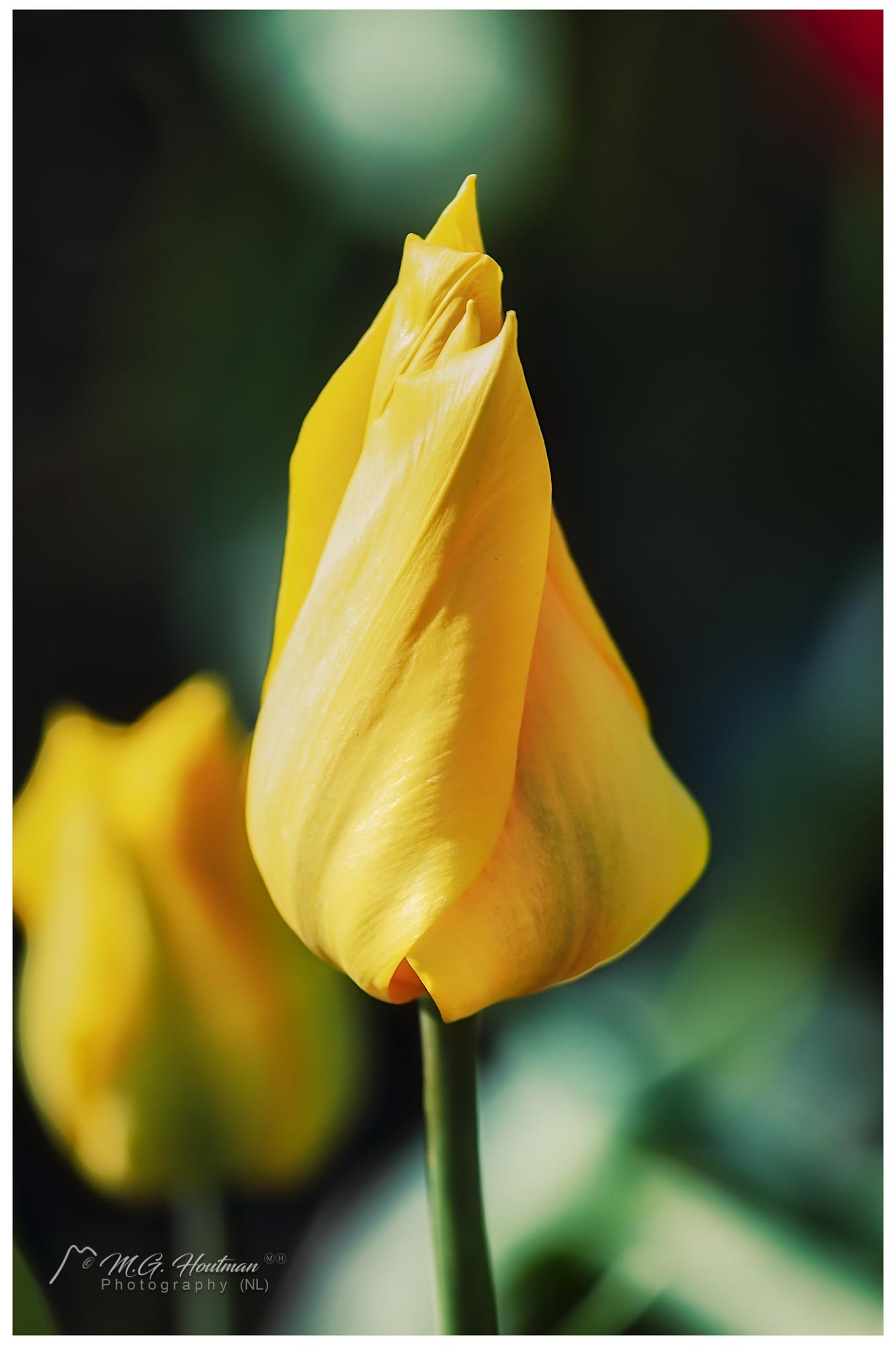 Yellow Dutch Tulip