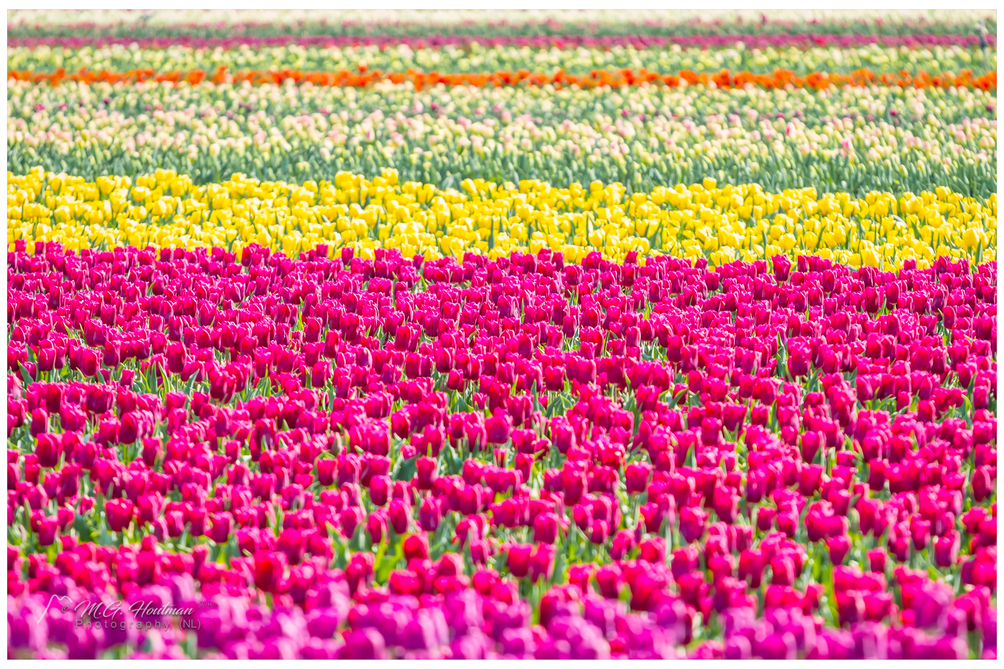Not yet cutted tulips