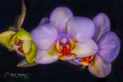 Orchids - Orchideeën