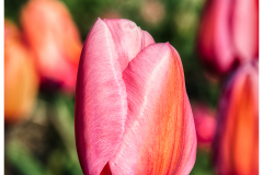 Beautiful Tulip on the land