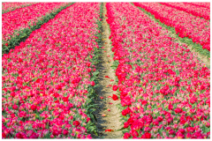 Tulips in the NO-Polder (NL)