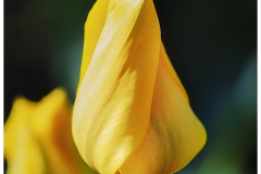 Yellow Dutch Tulip