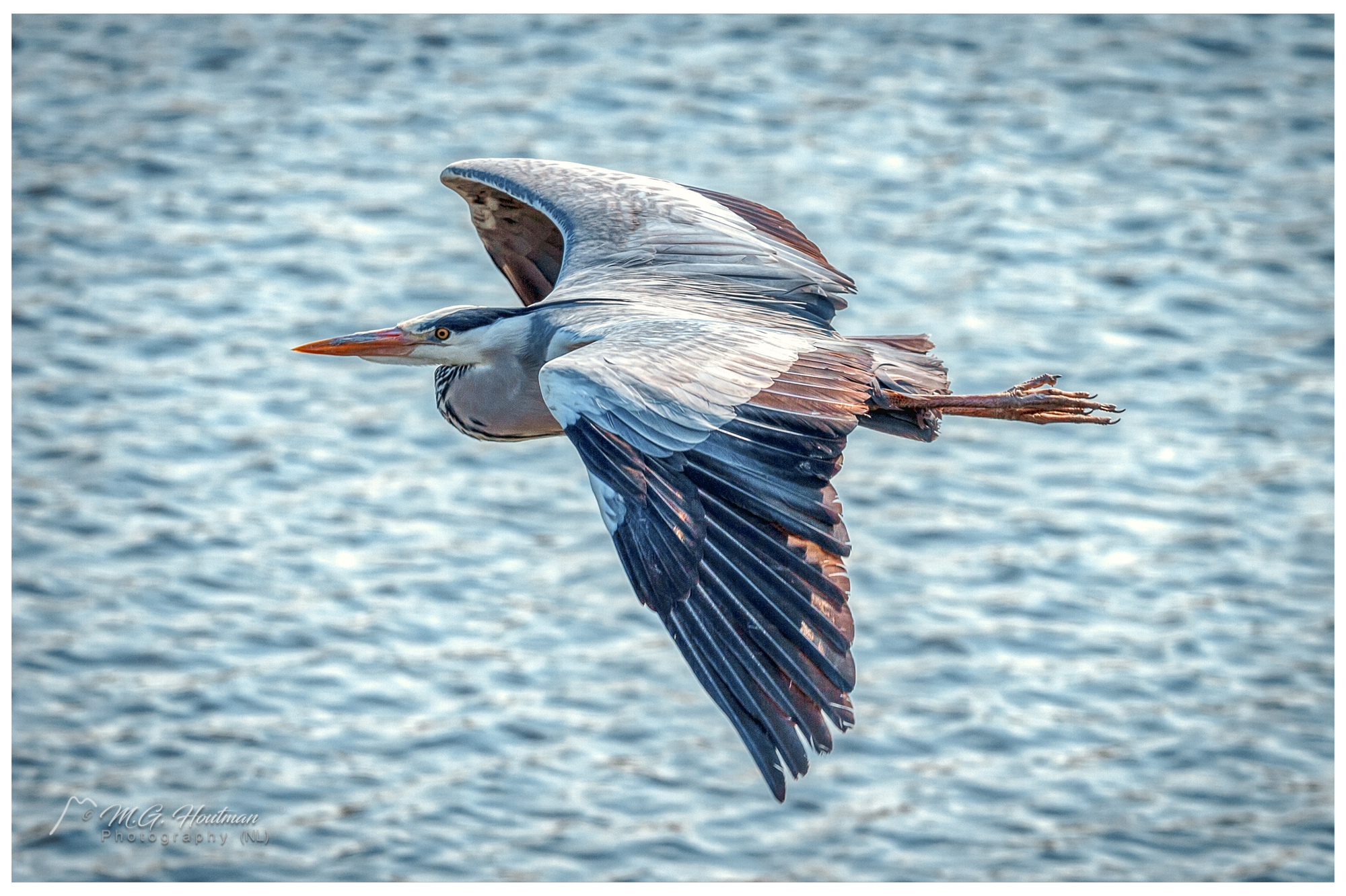 Landing of a Blue Heron