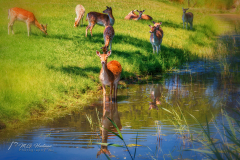 Deer in the oase