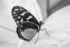 Vlinder - Z/W