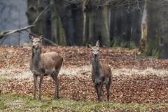 Herten nabij Hoog Soeren (Apeldoorn).