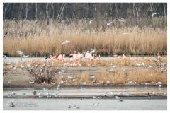 Flamingoinsel
