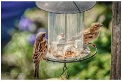 Two little sparrows at the spring meal