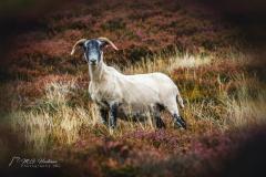 Hello, I'm Haggis the Scottish Sheep
