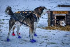 De rit met de husky's duurde zo'n halfuur over een afstand van 5 kilometer, over een bevroren zoutwatermeer Langfjorden, een 18km lang en 400-750m breed fjord in de gemeente Sør-Varanger, met een ijslaag van 1 meter dik.