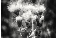 Thistle - Carduus